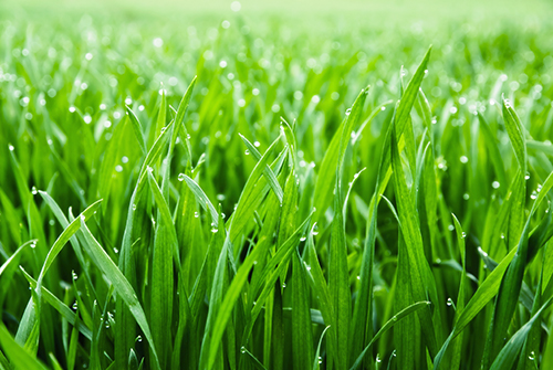 drought resistant grass- Tall Fescue