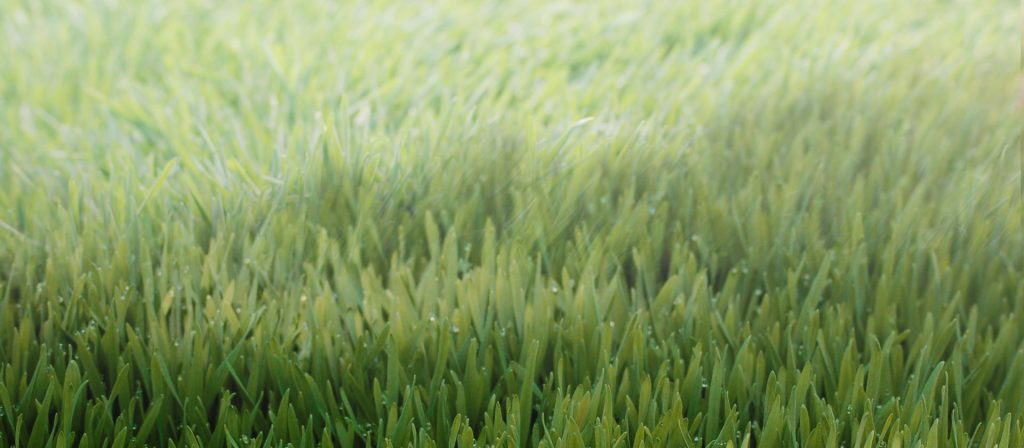 drought resistant grass Wheatgrass