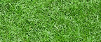 drought resistant grass- Zoysia grass