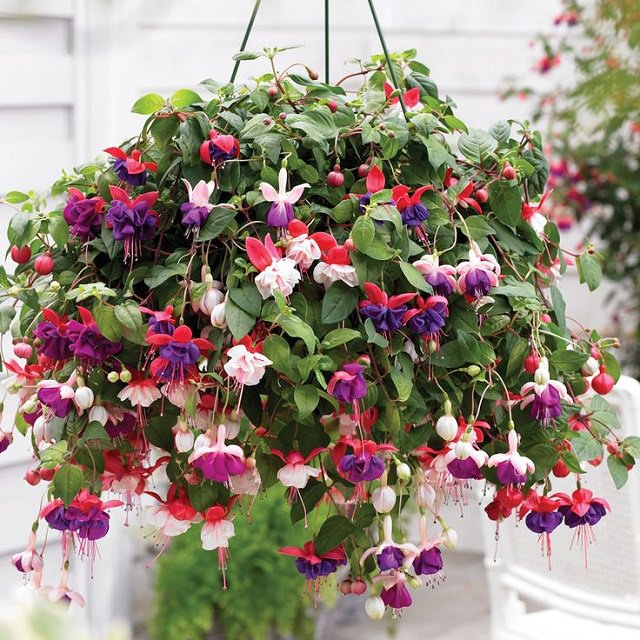 fuchsia-in-hanging-basket