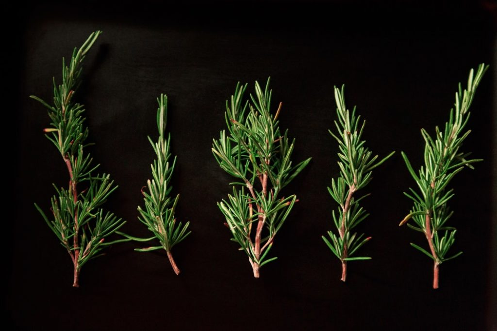 growing rosemary indoors from cuttings