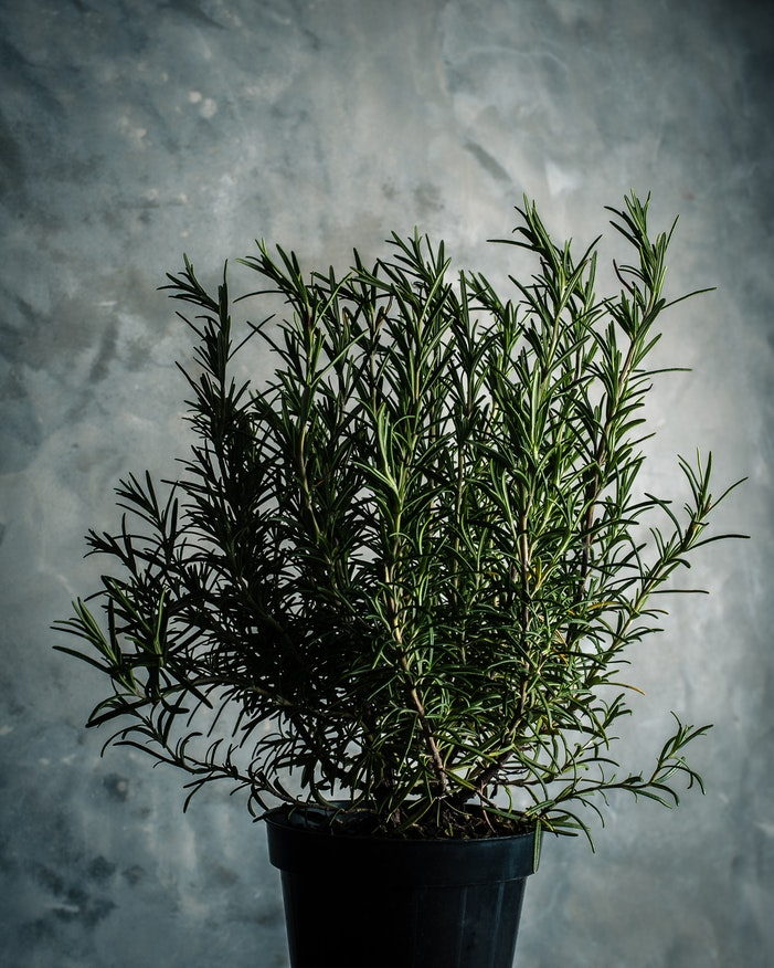 growing rosemary indoors in containers