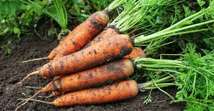 When to harvest carrots: 4 techniques to harvest carrots at the right time