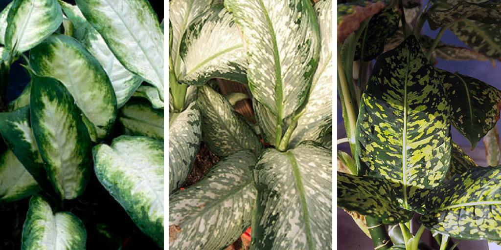how to care for Dieffenbachia indoors