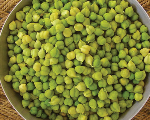 how to grow Garbanzo beans from seeds