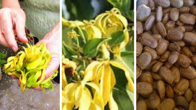how to grow Ylang-Ylang