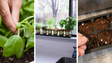 how to grow basil indoors in 9 easy effective steps