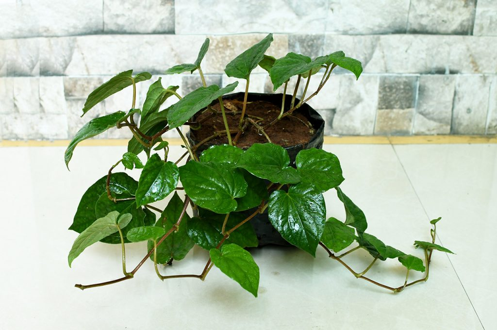 how to grow betel leaf plant