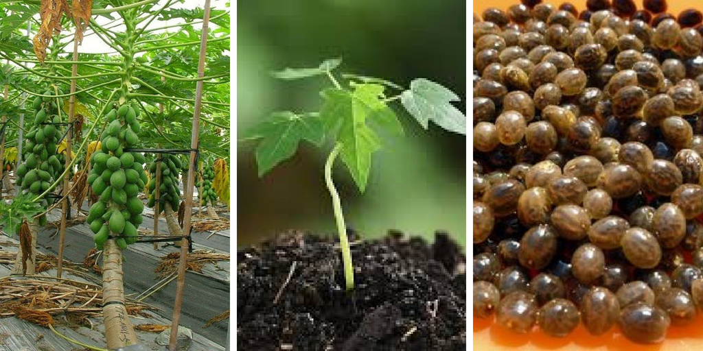 how to grow papaya.jpg