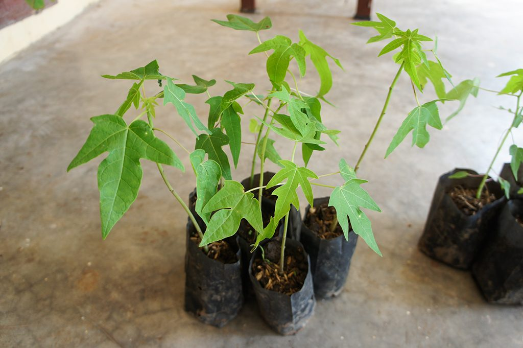how to grow papaya from seedlings