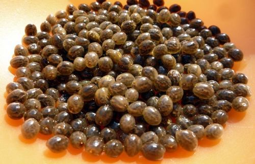how to grow papaya from seeds