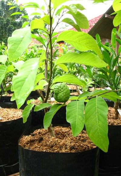 how to grow sugar apple from seelding