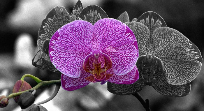 moth-orchid
