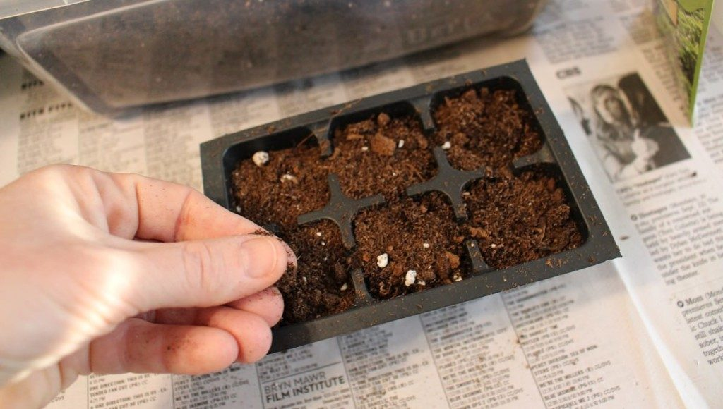 planting basil seeds indoors