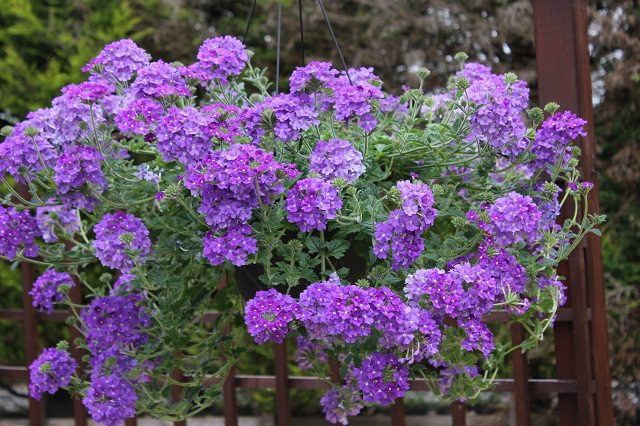 verbena-in-hanging-basket