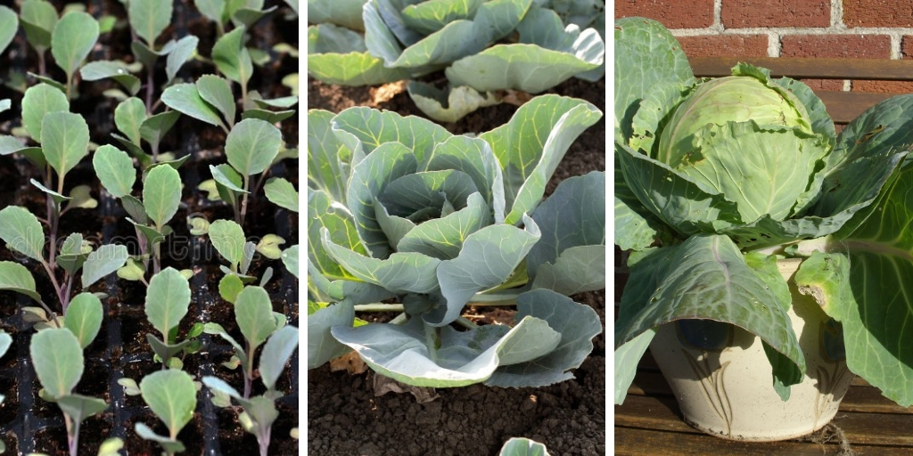 Growing Cabbage in pots: 5 essential tips