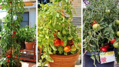 The best tomato varieties to grow in containers