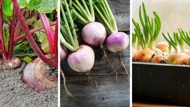 The most productive Root Vegetables For Containers
