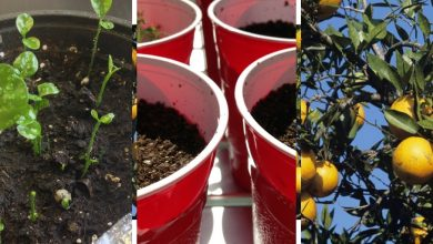 10 Effective Steps To grow Calamansi From Cuttings