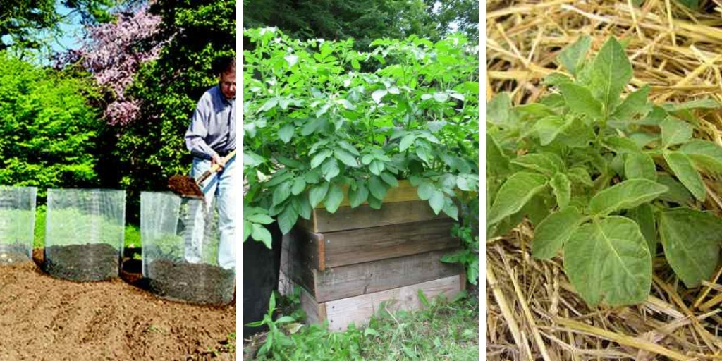 10 Effective ways to grow Potatoes successfully