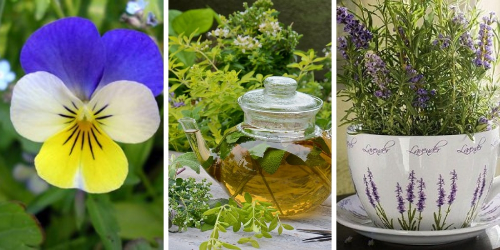 19 plants you should grow for your tea herb garden