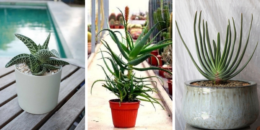23 Most decorative Aloe varieties to grow in containers