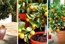 7 Vital Tips For Growing Calamansi Trees Indoors without problems