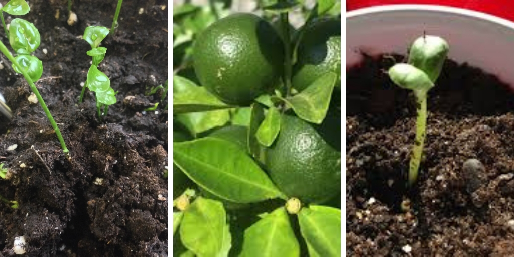 How To Grow Calamansi In Containers Successfully