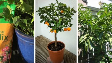 How To Grow Calamansi Indoors: 6 Tips To Keep In Mind