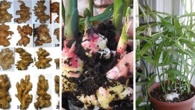How To Grow Ginger Indoors: 7 Crucial Tips You Should Follow