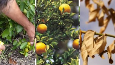 How To Prune Calamansi To Improve Its Productivity