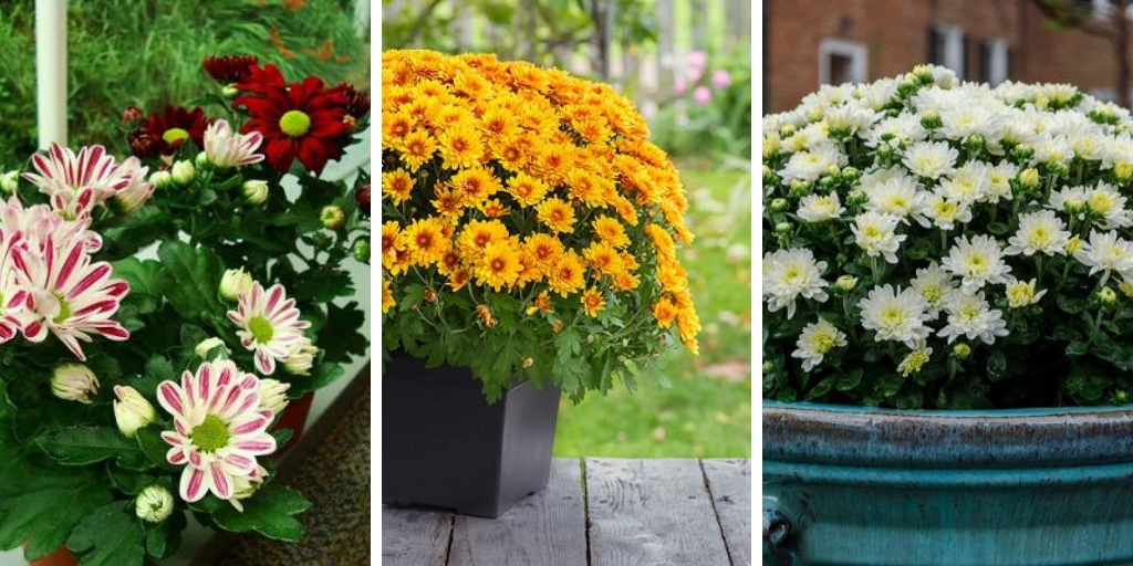 How to Grow Mums in containers -Effective tips