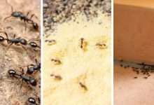 How to get rid of ants from your house and garden-30 effective tips