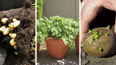 How to grow potatoes in containers in 10 steps