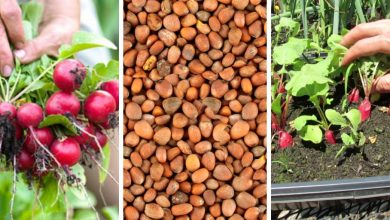 How to grow radishes in 6 steps