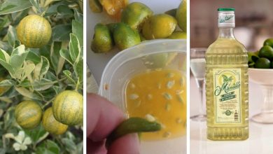 The Best Guide To Grow Calamansi In Cold Weather