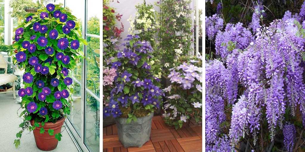 The best 20 Beautiful climbing plants for containers