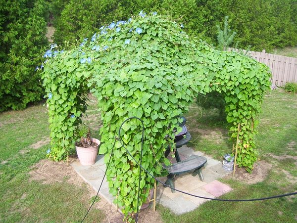 Top 19 Plants for Pergolas: The best climbing Pergola Plants