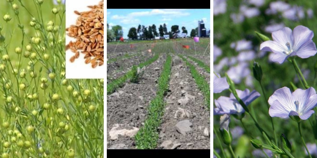 Growing Flax: How To Grow Flax Indoors and Outdoors