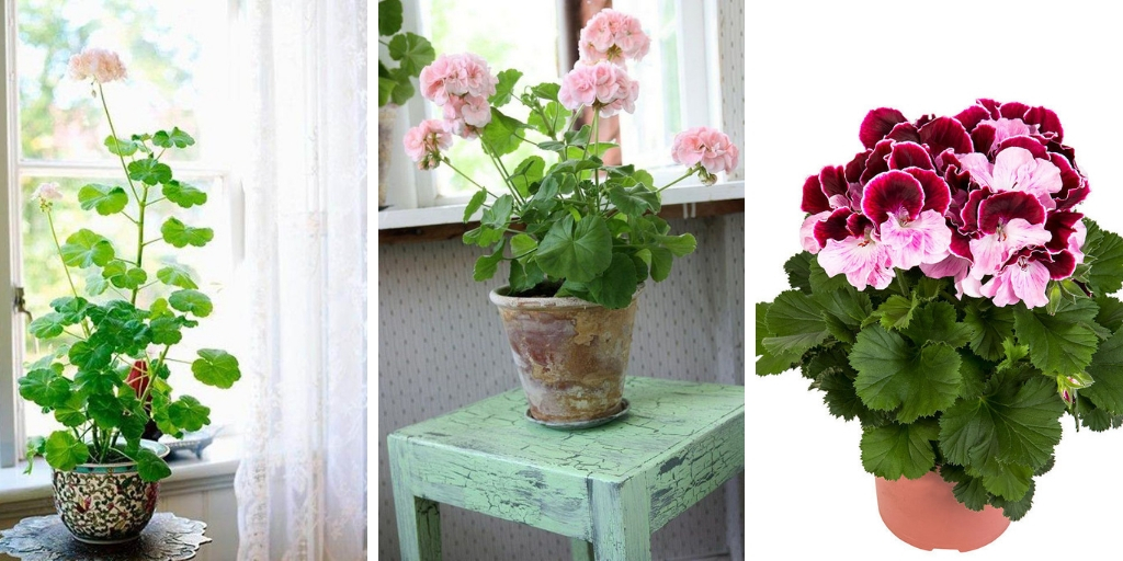 Growing Geranium Indoors: How To Grow Geranium as a Houseplant