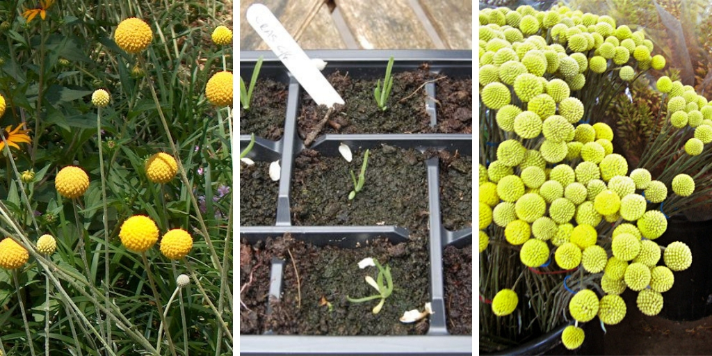 How to Grow Craspedia: The Best Guide For Growing Billy Buttons