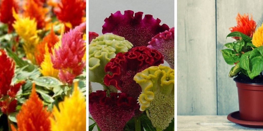 How to grow Celosia: The best steps for growing Celosia