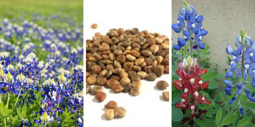The Best Tips For Growing Bluebonnets successfully
