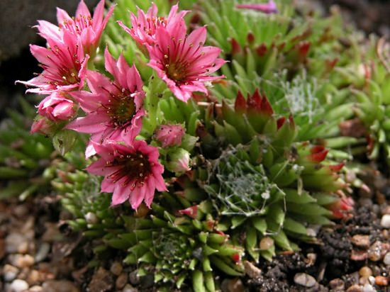 Flowering Succulents 12