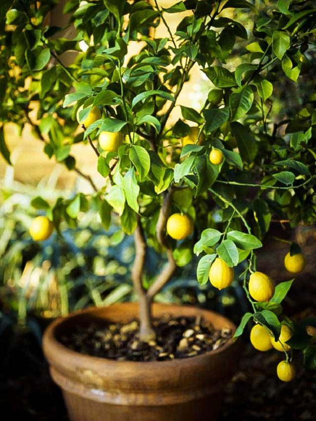 Fruits To Grow In Containers 1