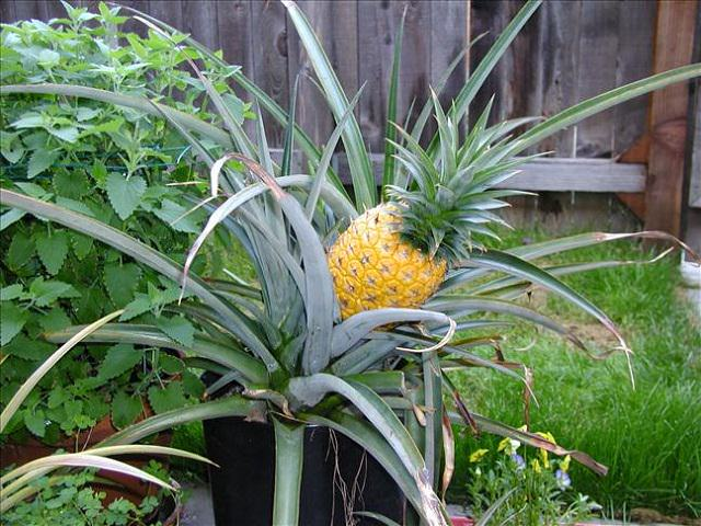 Fruits To Grow In Containers 11