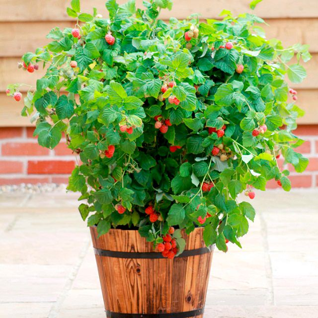 Fruits To Grow In Containers 12