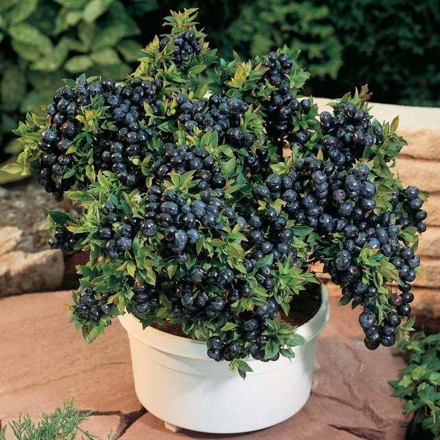 Fruits To Grow In Containers 13