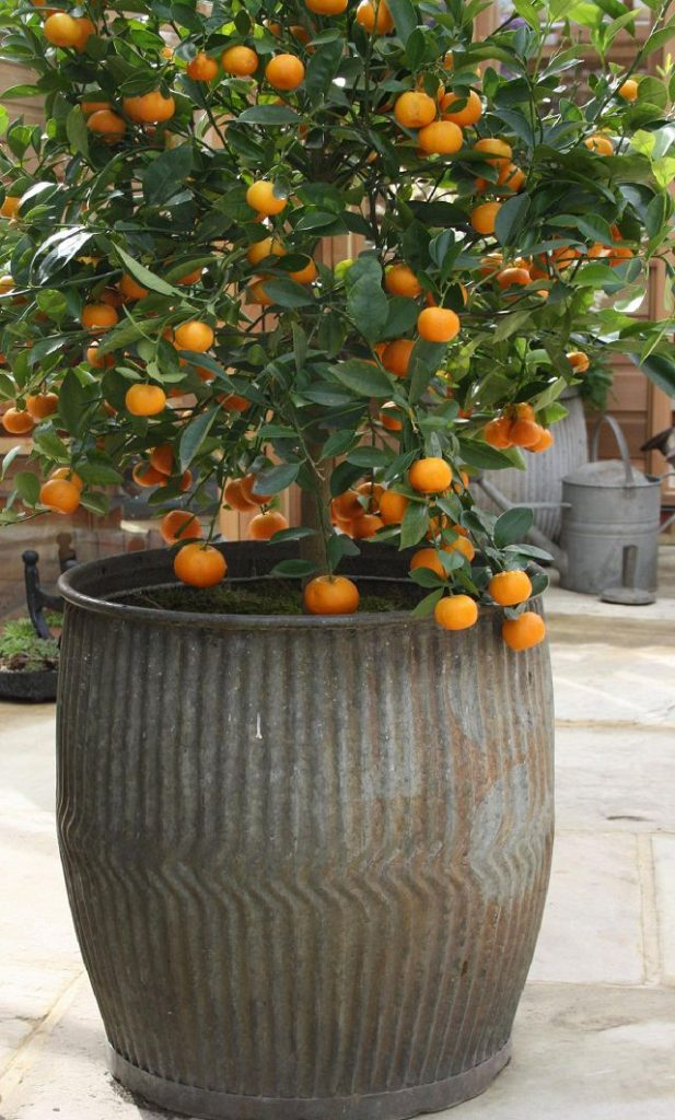 Fruits To Grow In Containers 14