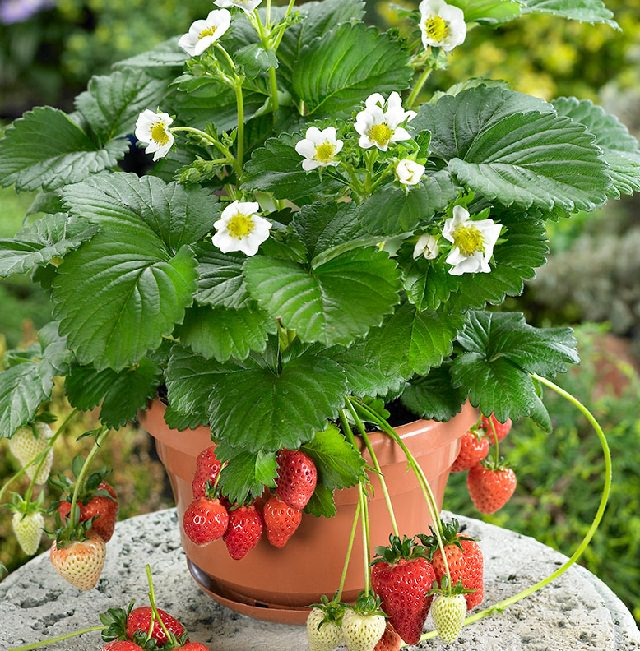 Fruits To Grow In Containers 2